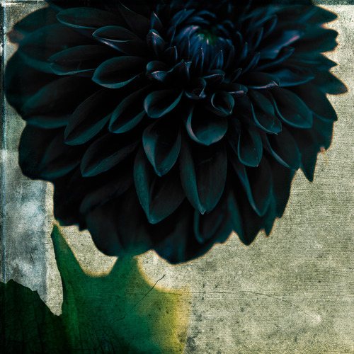 Black And Blue Dahlia תוך The Poetry of Material Things