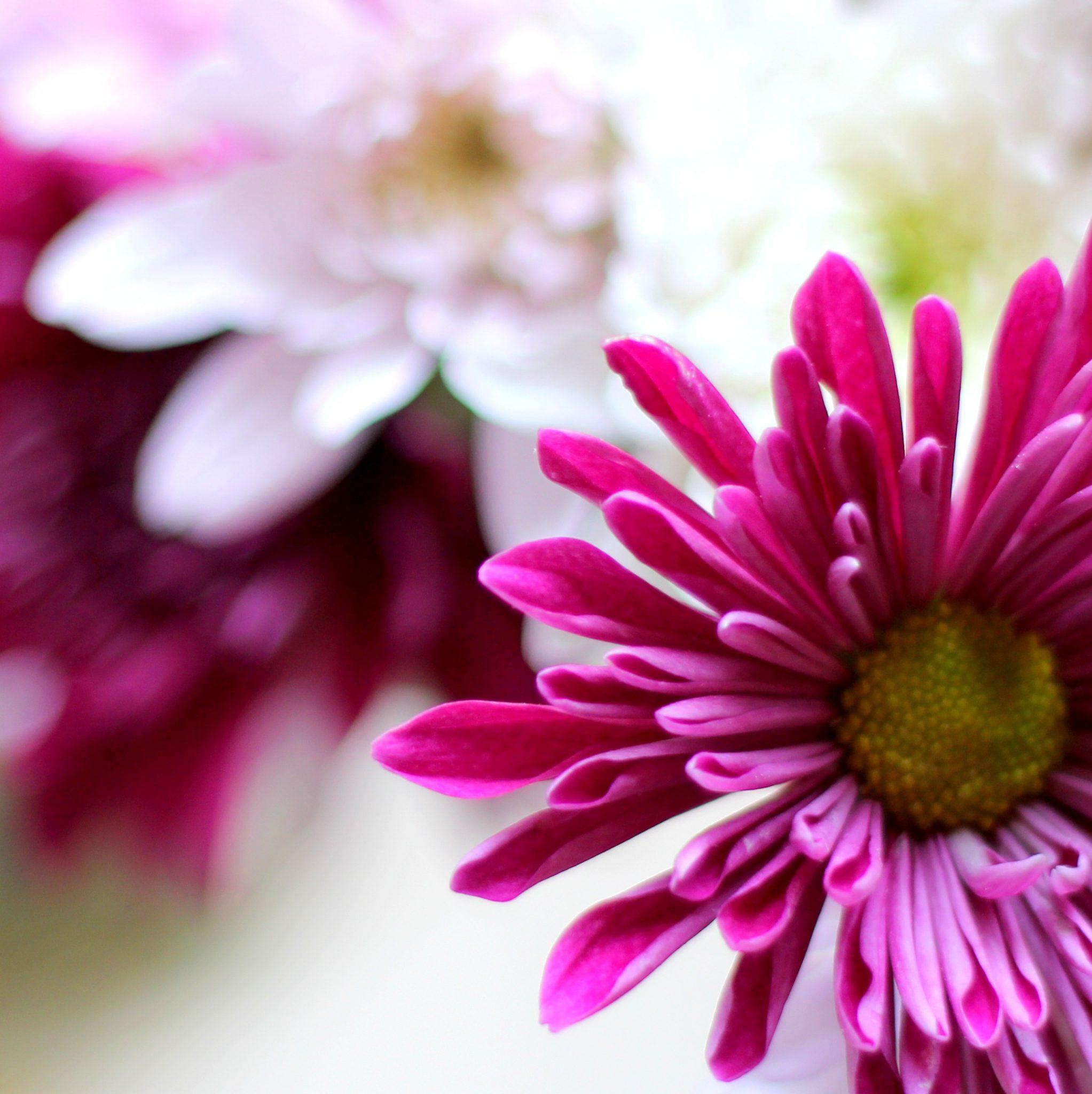 פרח דליה Dahlia בלוג עיצוב מיס גרות צילום לירון גונן (10)