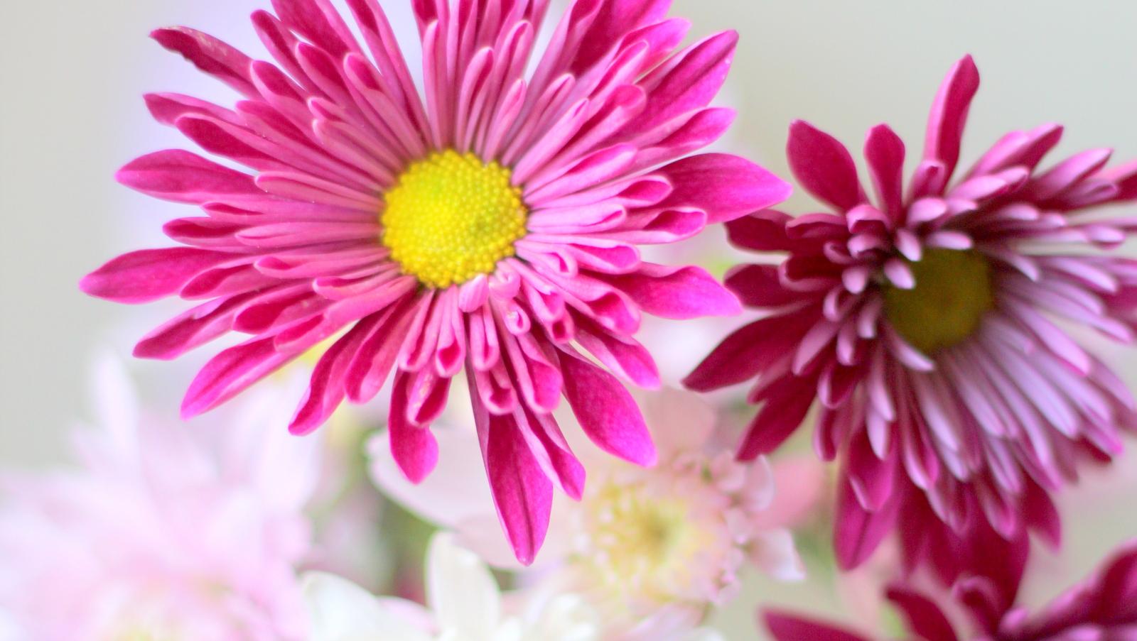 פרח דליה Dahlia בלוג עיצוב מיס גרות צילום לירון גונן (20)