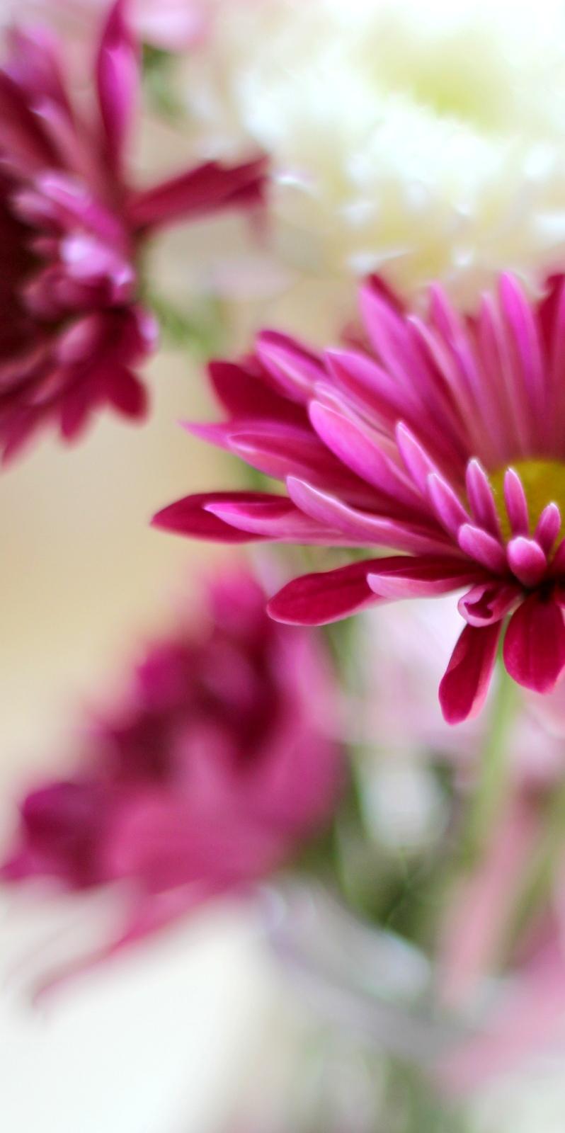 פרח דליה Dahlia בלוג עיצוב מיס גרות צילום לירון גונן (6)