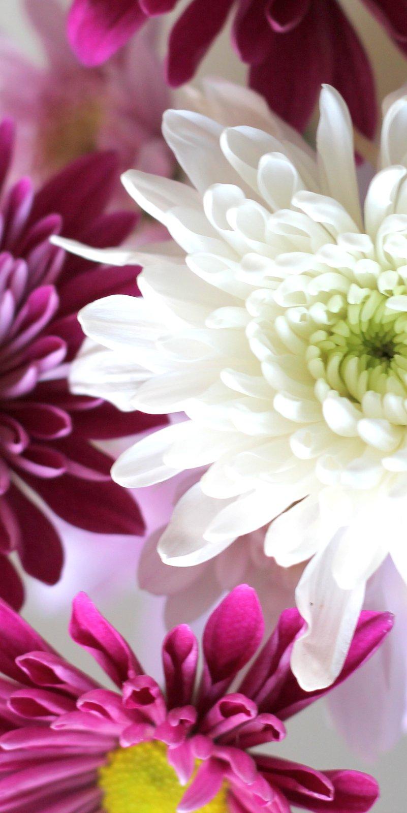 פרח דליה Dahlia בלוג עיצוב מיס גרות צילום לירון גונן (25)-001