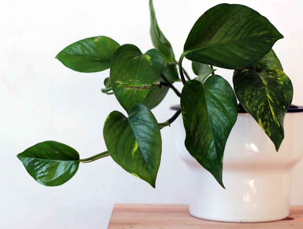 פוטוס, צמח מטפס, צמח נשפך, צמחים לאמבטיה