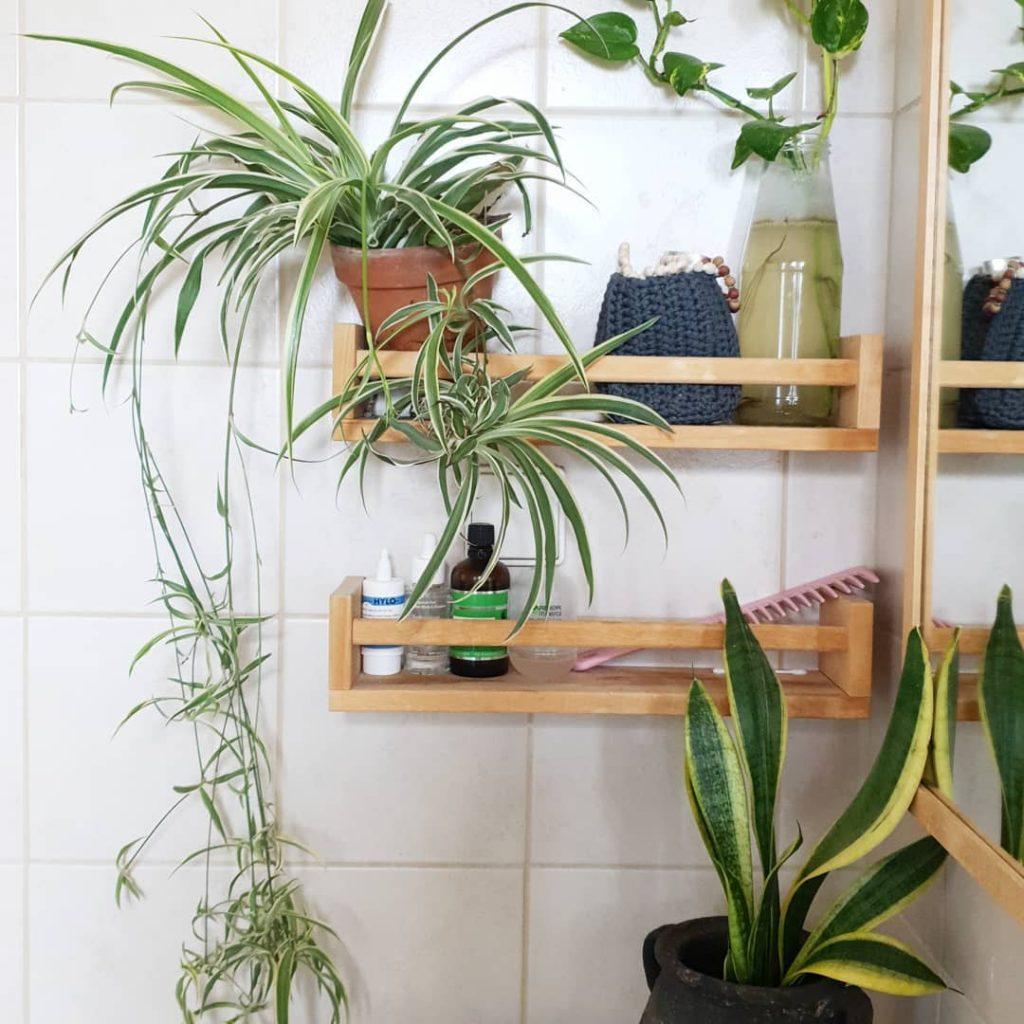 ירקה, ירקה מצויצת, צמח נשפך, חדר רחצה, צמחים קטנים