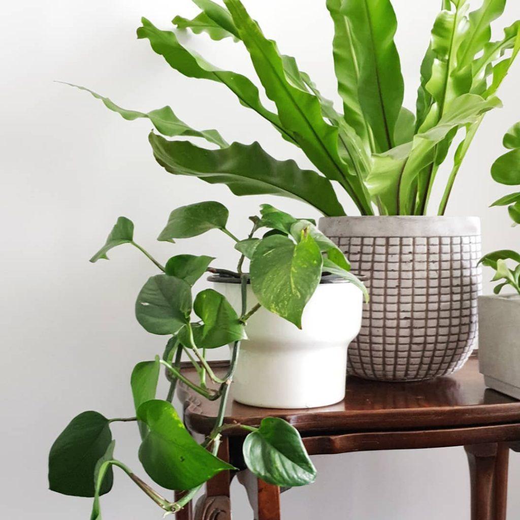 צמחי בית, קן הציפור, פוטוס, צמחים, אורבן גנגל, גונגל אורבני, שולחן קפה וצמחים, צמחים בסלון