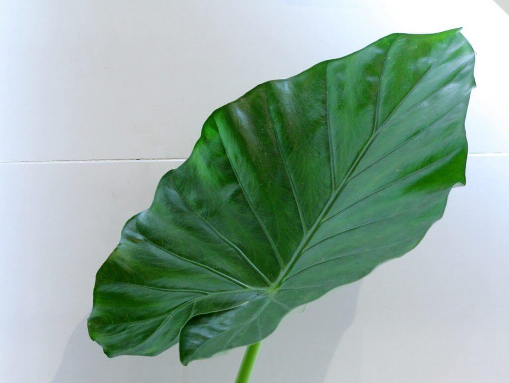 אלוקסיה אודורה צמחים למקלחת