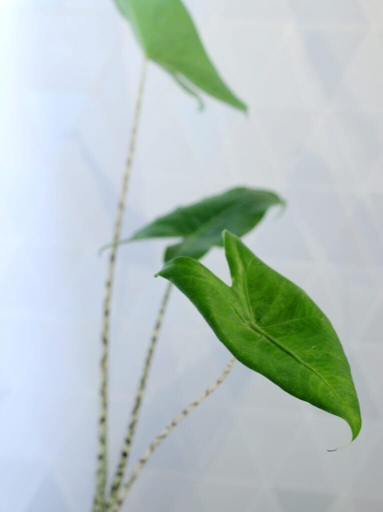 אלוקסיה זברינה צמחים למקלחת