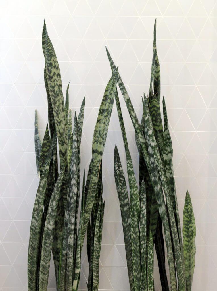 כידונן לשון החותנת סנסיווריה צמחים למקלחת