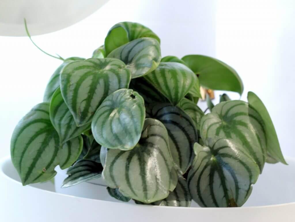 פפרומיה אבטיחית צמחים למקלחת