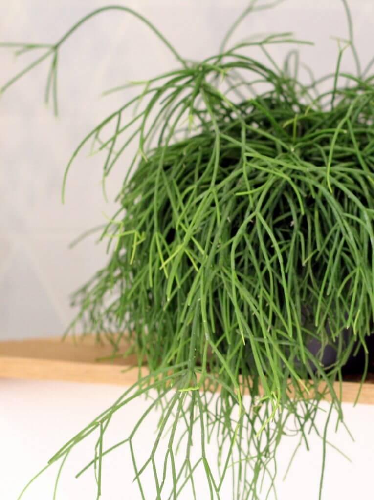 ריפסליס צמחים למקלחת