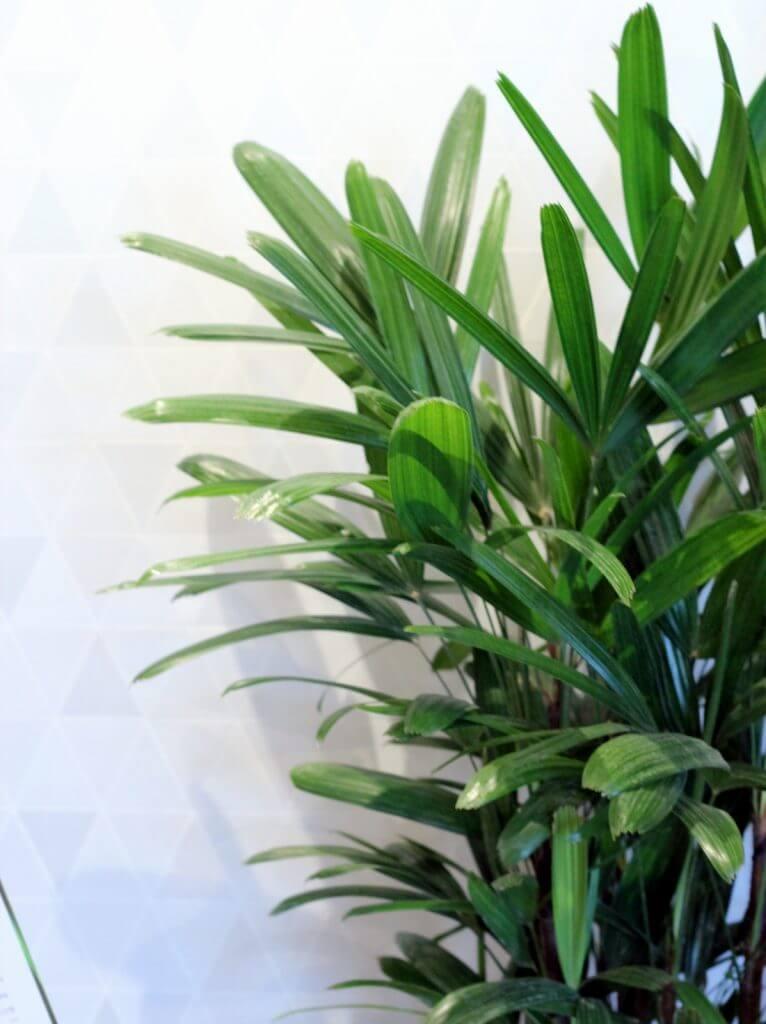 רפיס רם צמחים למקלחת
