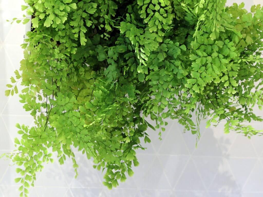 שערות שולמית צמחים למקלחת