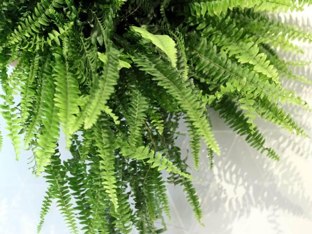 שרך בוסטון צמחים למקלחת