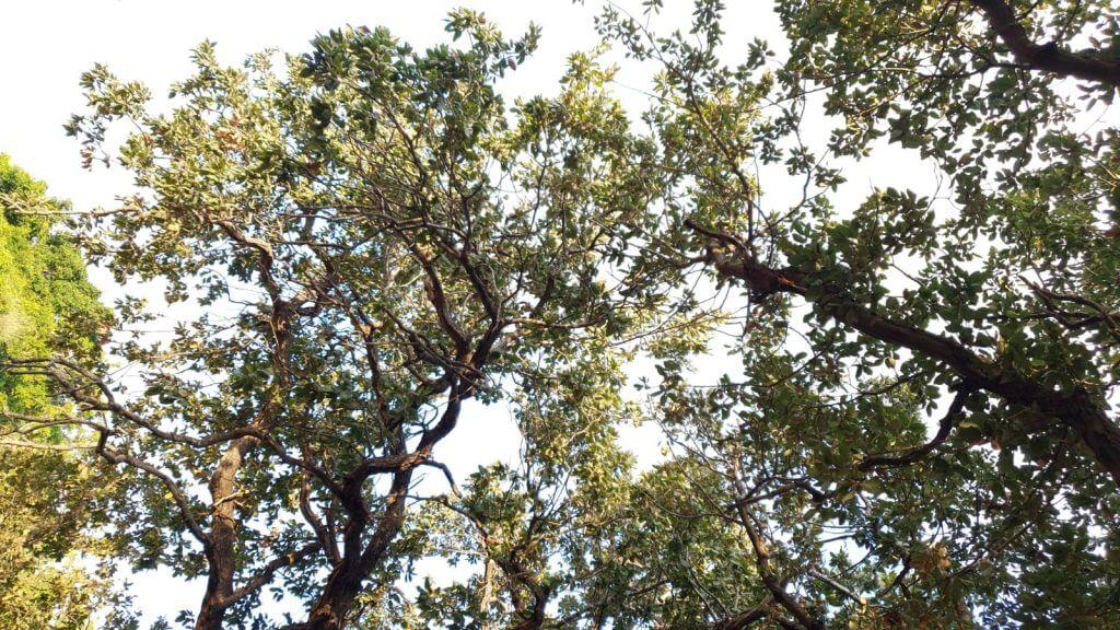 צמרות עצי אלון, עץ אלון עתיק, יער השרון, שמורת אלוני קדימה