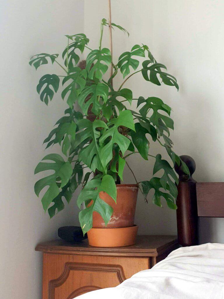 רפידופורה, מונסטרה מיני, צמח לחדר שינה